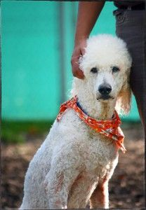 Standard Poodle Rescue   Dogs for Adoption Oshawa, Ontario